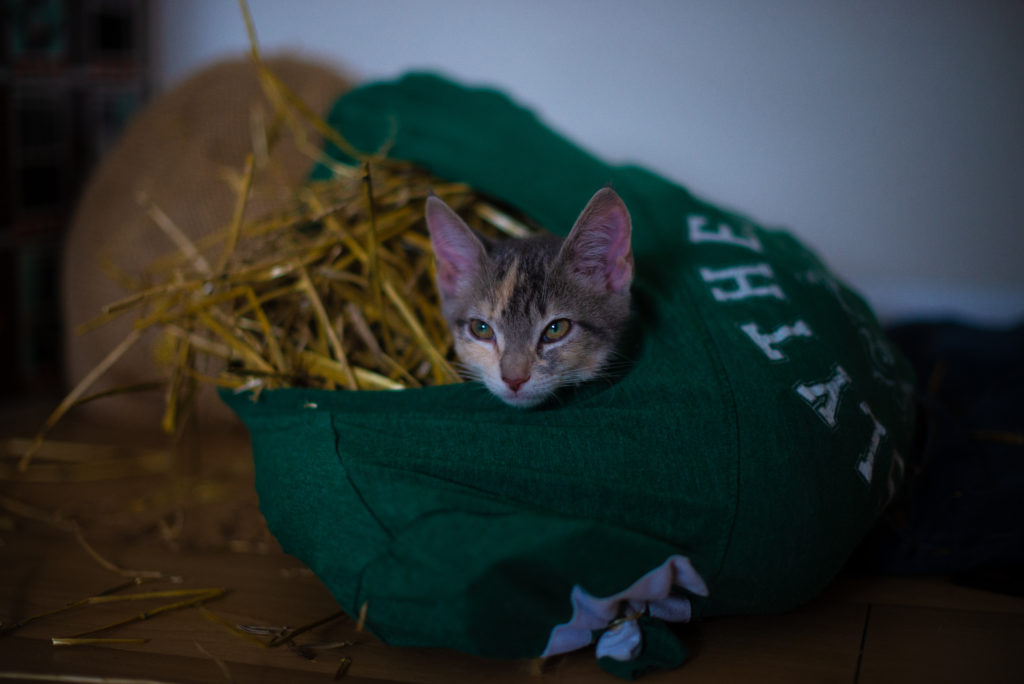 Small kitten looking off, laying inside of a tee shirt that is stuffed with straw.
